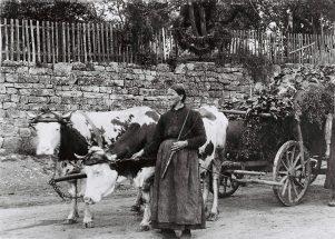 Ochsengespann um 1915