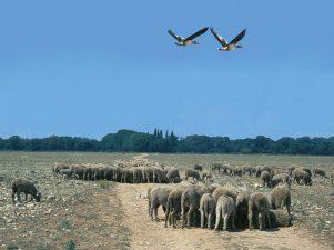 Schafe in der Crau