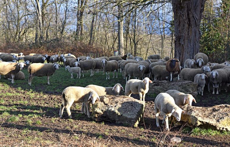 Schafe Schlüsselberg