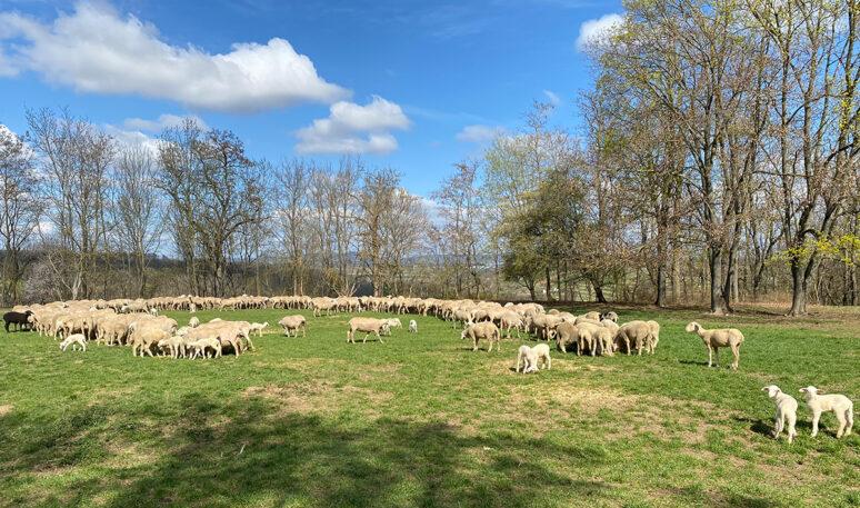 Schafe Schlüsselburg